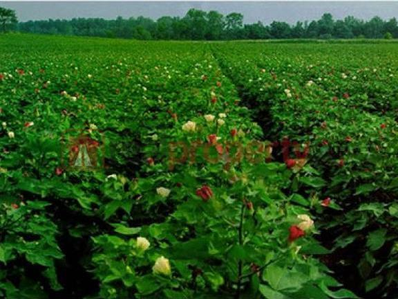 8 Acres 64 Kanal Agricultural Land For Sale In Pakistan Punjab District Bahawalpur, Tehsil...