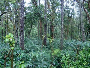 Coffee Estate On Sale We Sell Coffee Estate And Maintain It For You