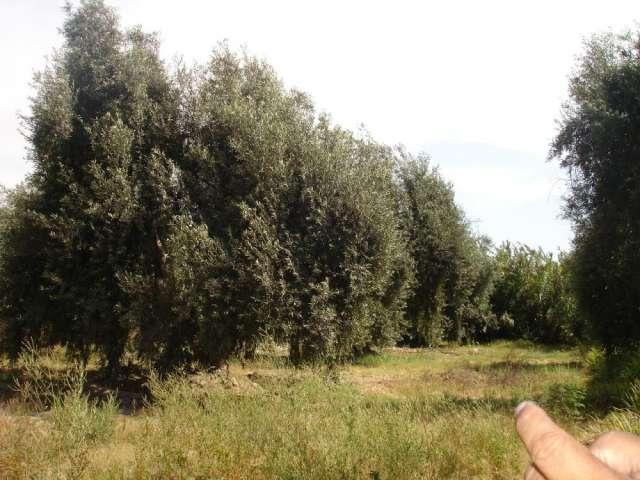 Vendo Terreno De 5000 M2 Con Olivos En Azapa